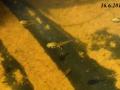 larva rosničky zelené