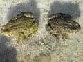 Ropucha zelená (Bufo viridis) k životu vyžaduje otevřenou krajinu s mělkými periodickými tůněmi.