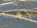 Bufo viridis opět v Supíkách